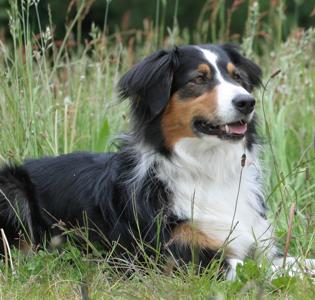 Gipsy - Australian Shepherd