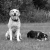Zwei Hunde, die auf einem Gebiet warten